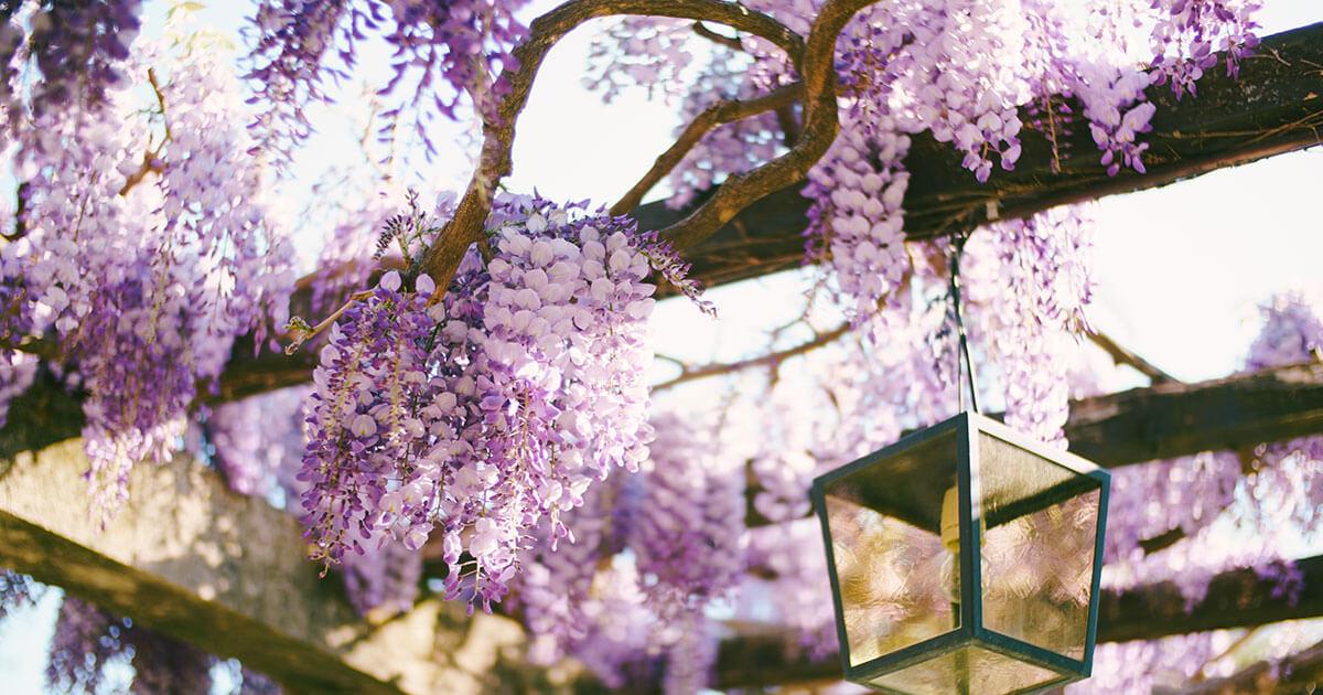 Glycine violette et jolie lampadaire d'extérieur en suspension