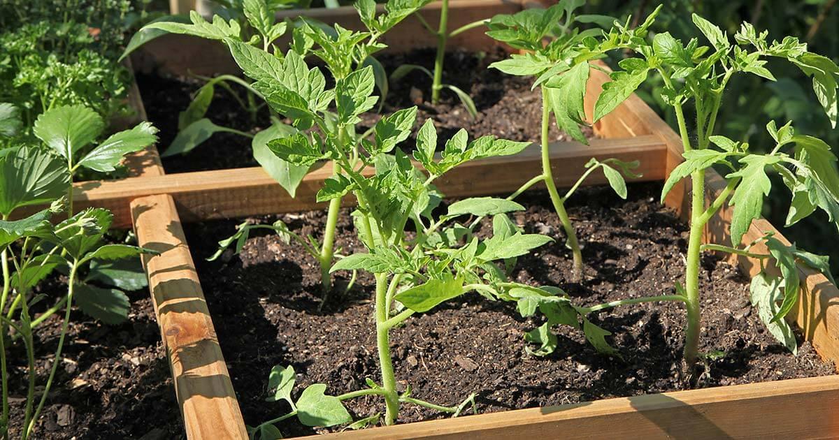 Différents plants dans un carré potager